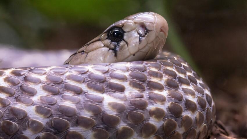 Virus chinois : les serpents pourraient être à l'origine de l'épidémie