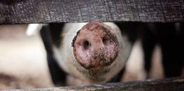 Le ministre de l'Agriculture annonce la fin de la castration des porcelets et le broyage de poussins