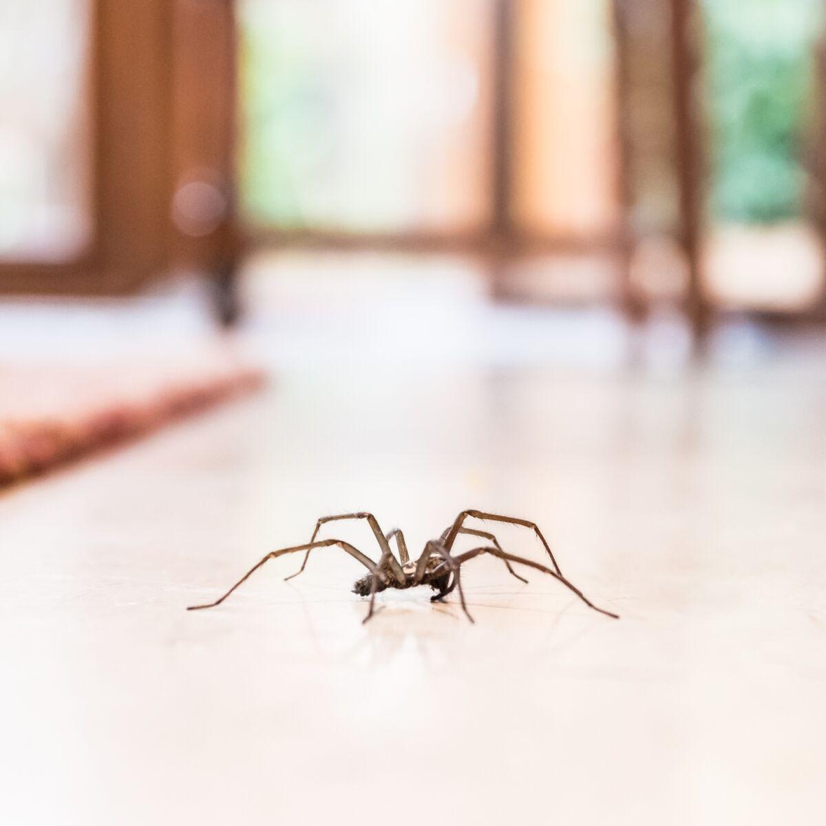Huiles Essentielles Contre Les Souris araignées, mouches, mites, souris, cafards, termites : 3