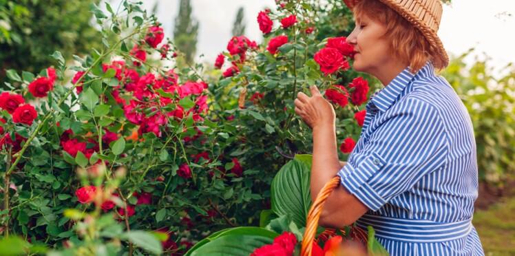 Quelles sont les variétés de rosiers les plus parfumées ?