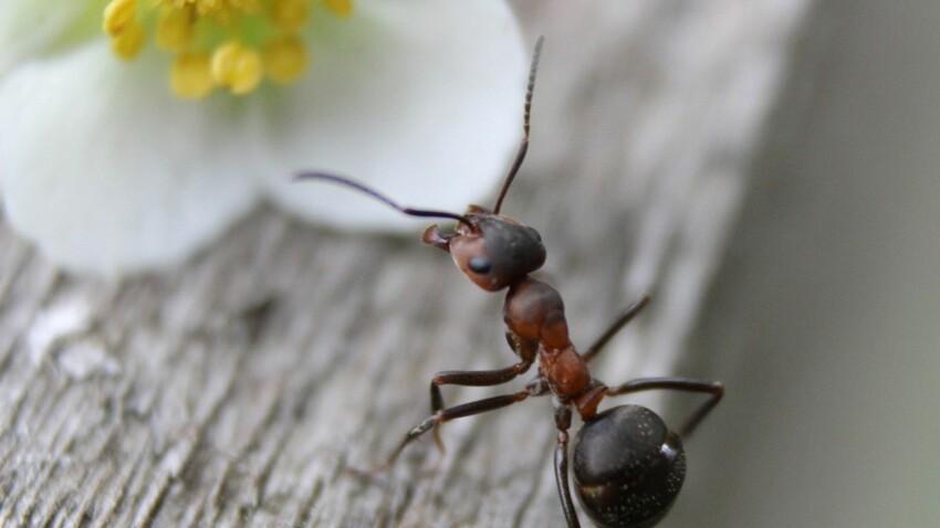 Tout savoir sur la fourmi