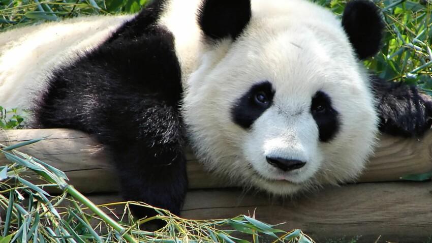 Tout savoir sur le panda