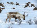 Tout savoir sur le renne