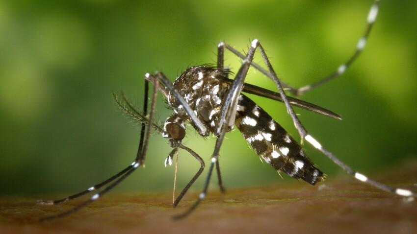 Moustique tigre : comment le reconnaître ?