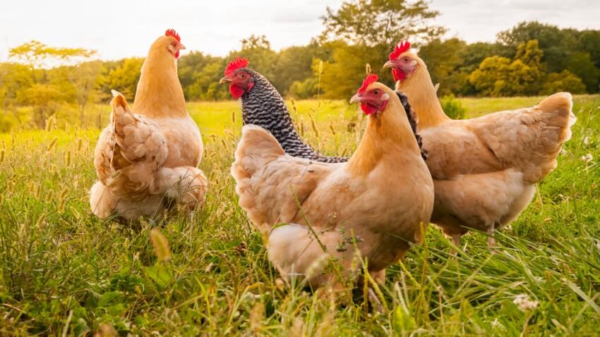 Grippe aviaire: tout savoir sur le virus H5N1