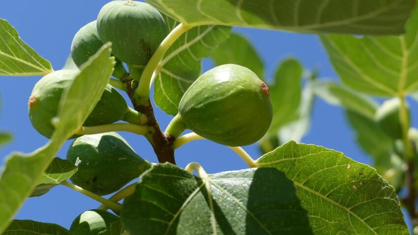 Quels fruits peuvent encore mûrir après avoir été cueillis ?