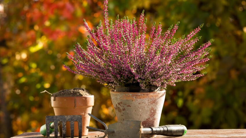 Planter des bruyères pour un jardin fleuri toute l'année