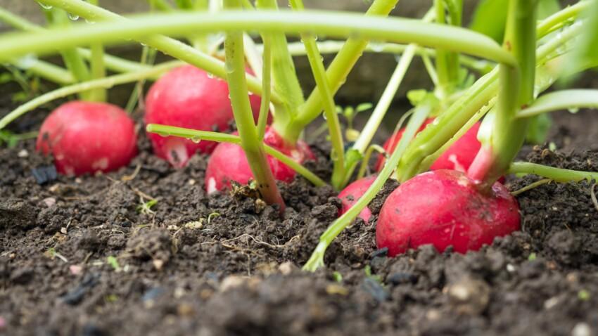 Comment faire pousser des radis ?