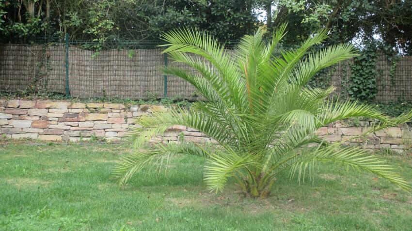 5 conseils avant de planter un palmier dans son jardin