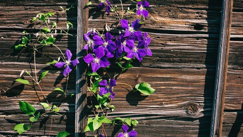 Planter des clématites au jardin ou au balcon, mode d'emploi