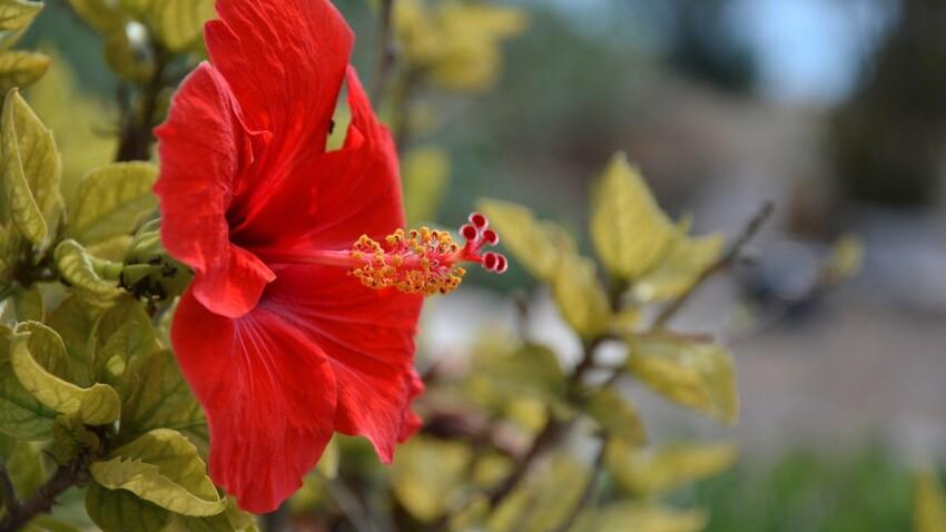 L'hibiscus, une fleur qui se cuisine