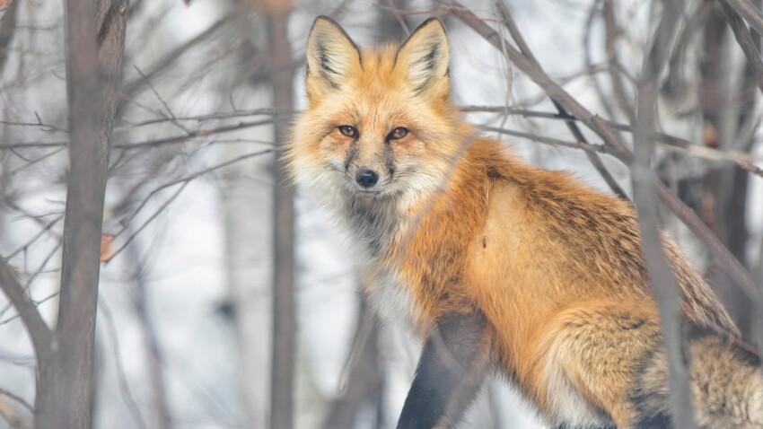 Tout savoir sur le renard