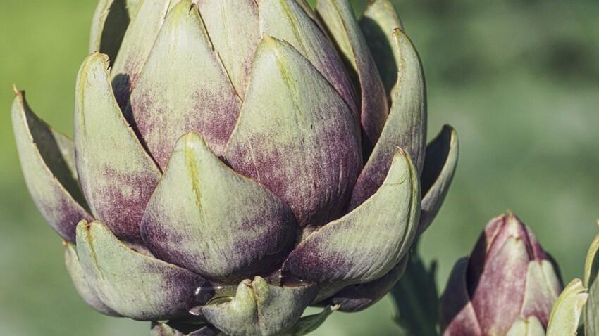 L'artichaut, l'or vert du Roussillon