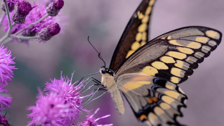 Tout savoir sur le papillon