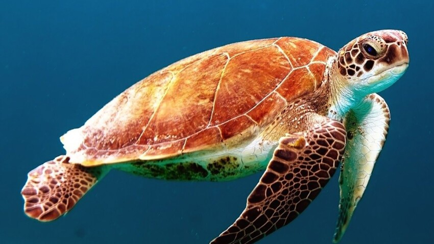 Tout savoir sur la tortue