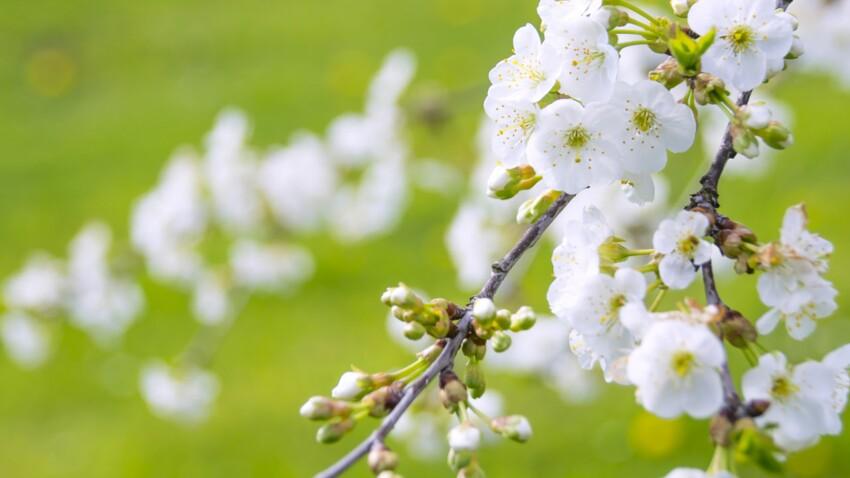 Tout savoir sur le cerisier