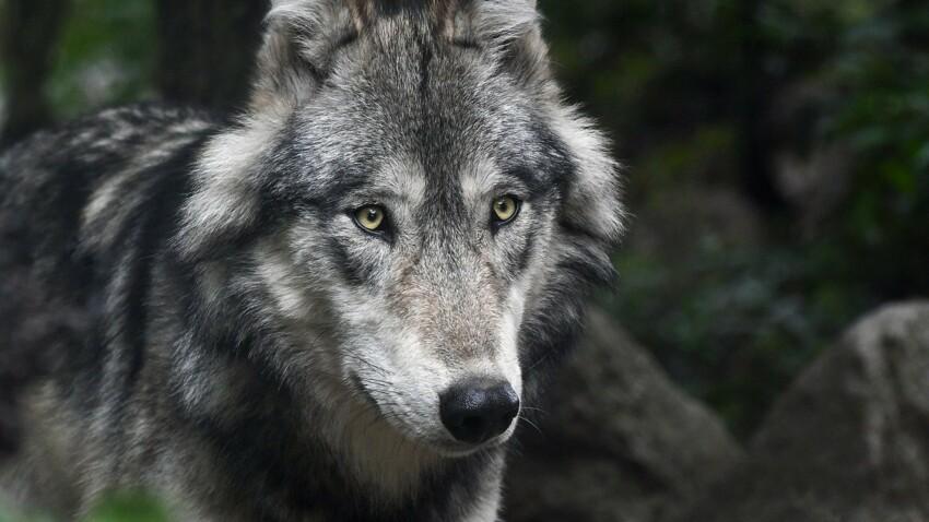 Les origines du loup à travers le monde