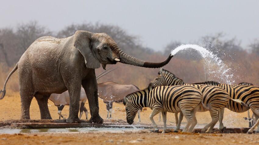 Tout savoir sur l'éléphant d'Afrique