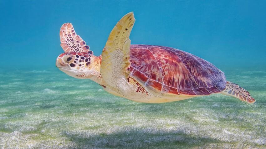 La tortue à écailles, une espèce en voie de disparition