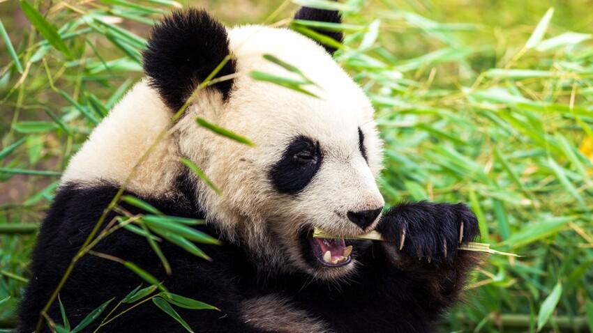 Le panda géant, une espèce menacée