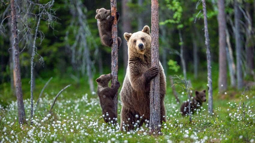 Tout savoir sur l'ours brun