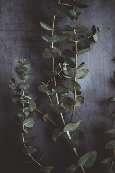 De l'eucalyptus pour soigner un rhume - Australie