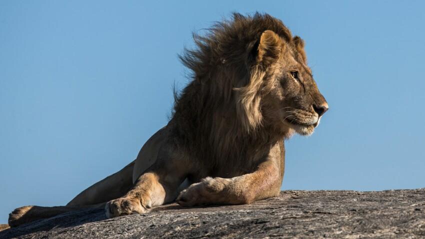 Tout savoir sur le lion, le roi des animaux