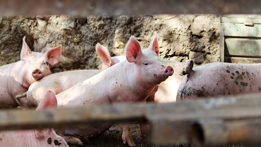 SADS-CoV ou diarrhée porcine aigüe : ce nouveau coronavirus issu du porc qui pourrait menacer l'homme