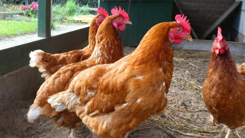 Tout savoir sur les poules avant d'en accueillir