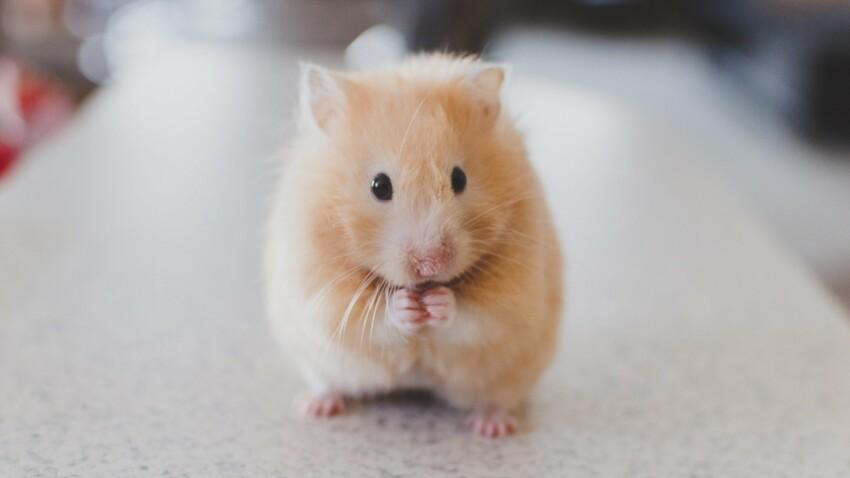 NAC : le hamster, cet animal solitaire