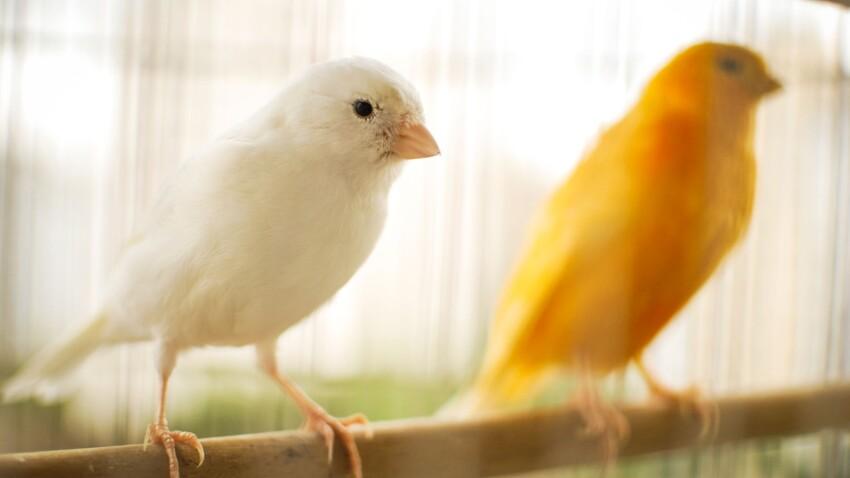 Le canari, cet oiseau qui enchante la maison