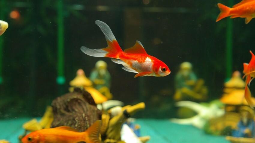 Poissons d'aquarium, des alliés anti-stress