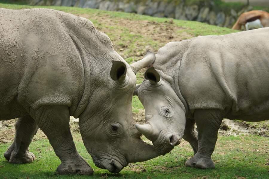 Rhinocéros blancs.