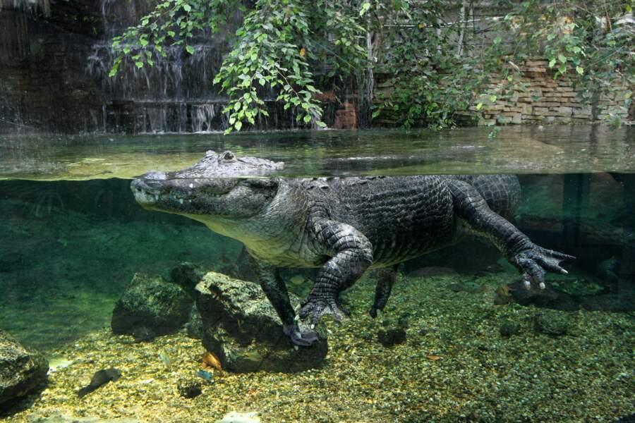 Alligator du Mississipi