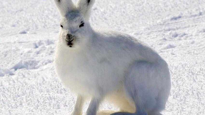 Ces animaux qui changent de couleur l'hiver