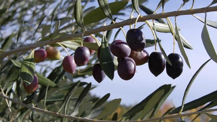 Zoom sur l'olive noire de Nyons