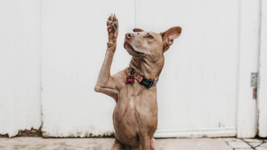 Quelles sont les 10 races de chien les plus intelligentes ?