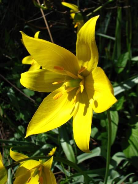 La tulipe sauvage
