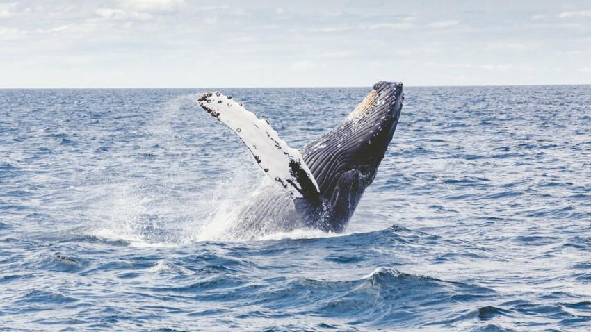 Tout savoir sur la baleine