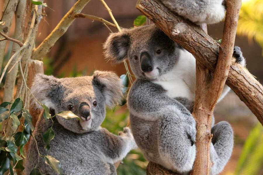 Les koalas.