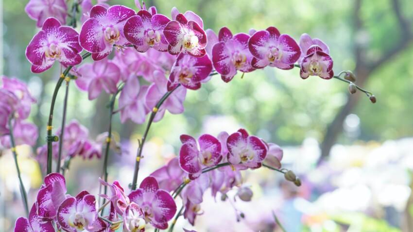 Mon orchidée fane, comment la faire refleurir à tous les coups ?