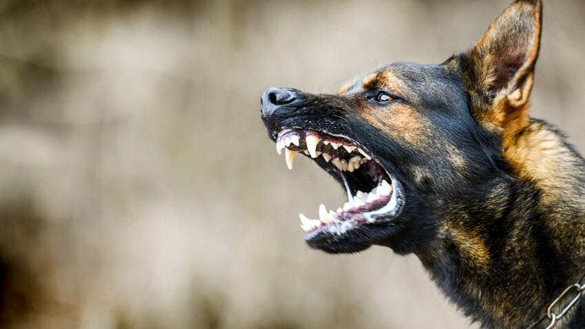 Bergers allemands, pitbulls, labradors : quels sont les chiens les plus dangereux ?