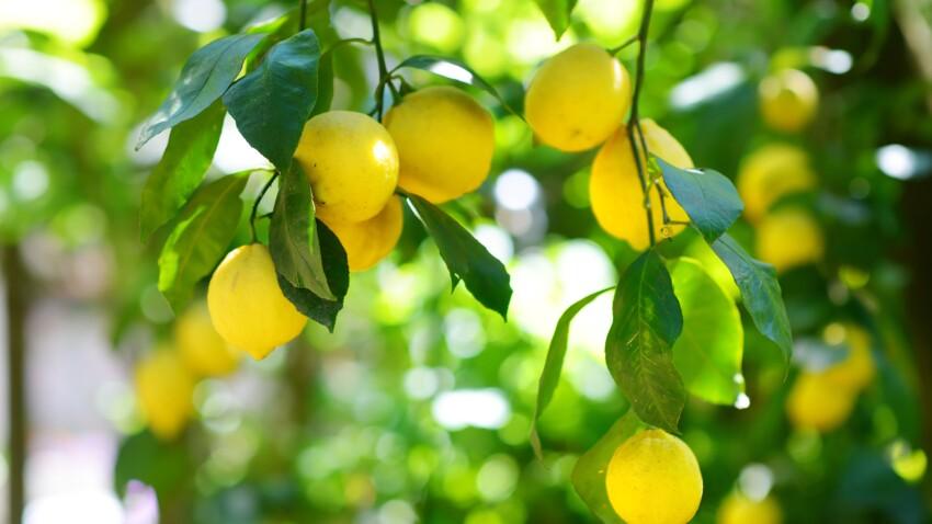 Le citron, un concentré d'énergie
