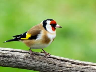Les oiseaux du jardin à connaître