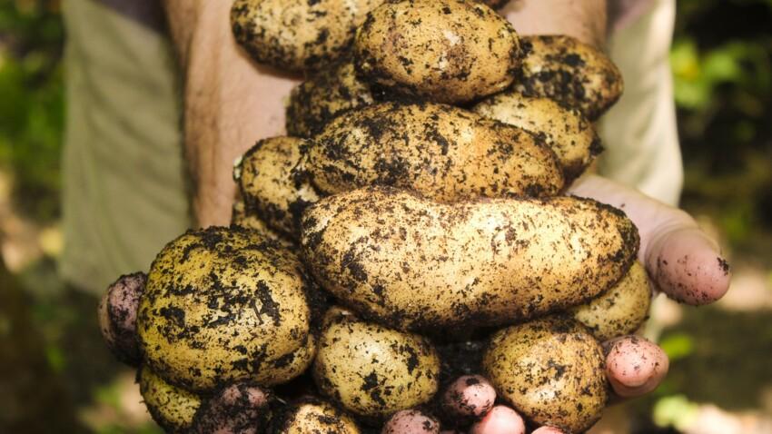 Pour restaurer les sols et protéger la biodiversité, plantez des patates !