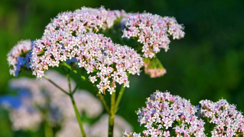 Valériane : quels sont les bienfaits de cette plante apaisante et comment l'utiliser ?