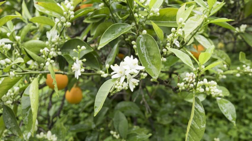 La fleur d'oranger, suavité printanière