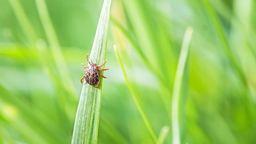 Maladie de Lyme : les régions où les tiques infectées sont les plus présentes