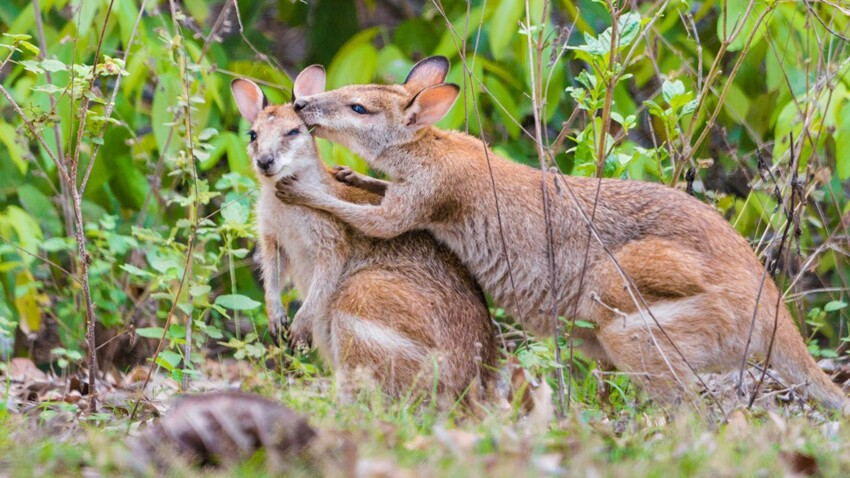 Tout savoir sur le kangourou