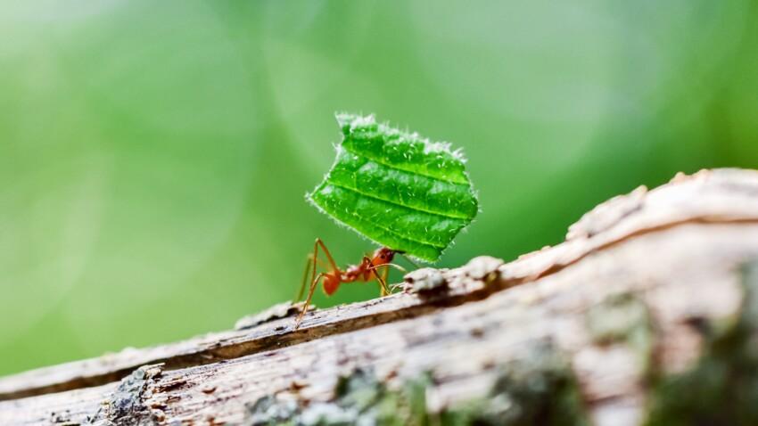 Piqûre de fourmi: comment la reconnaître et la soulager?